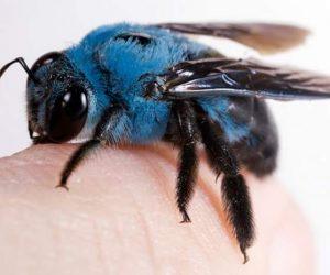 Mavi Arı