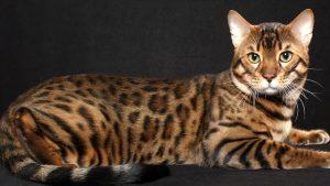 bengal-kedi1