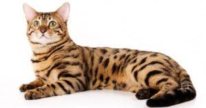 bengal-kedisi-nasil-bir-kedidir
